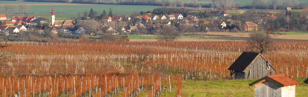 Zsira határában a szőlődombokon jófajta kékfrankos terem.